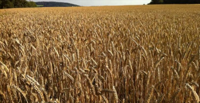 wheat production expected to be at record 115 mn tonne iiwbr